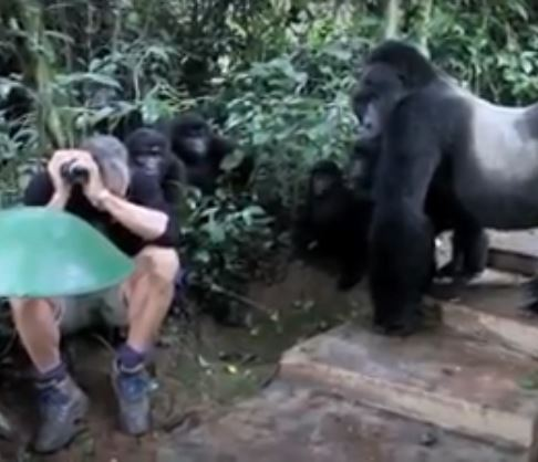 Gorillas surrounded tourist